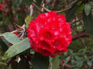 Rhododendron 'Duke of Cornwall'
