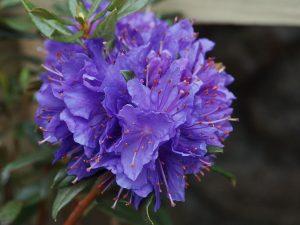Rhododendron russatum