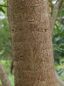 Schefflera taiwanense