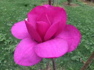 Magnolia 'Black Tulip' x 'J C Williams'