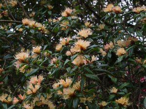 Rhododendron 'Crossbill'