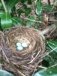 thrush's nest