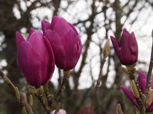 Magnolia 'Cleopatra'