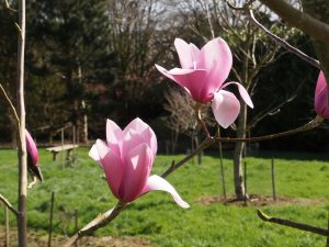 Magnolia 'Princess Margaret'