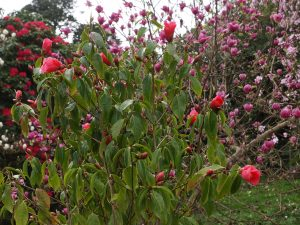 Camellia pittardii