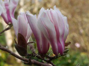 Magnolia 'Kalleberg'