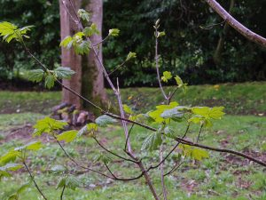 first leaves of the year on a sycamore