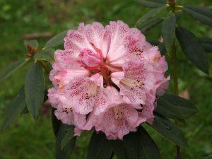 Rhododendron irroratum 'Polkadot'