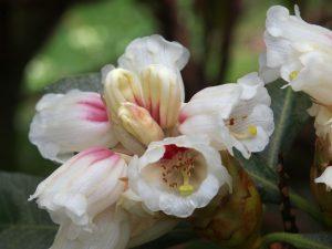 Rhododendron suoilenhense