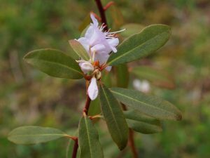 Rhododendron Xiangense