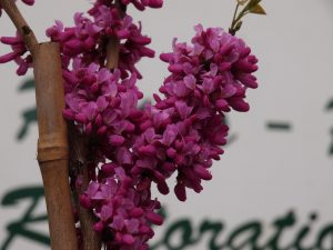 Cercis chinensis 'Arondale'