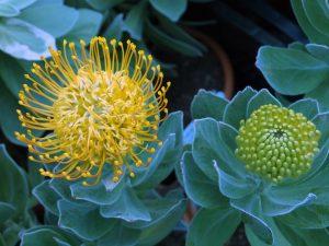 Leucospermum cordifolium 'Copper Carnival'