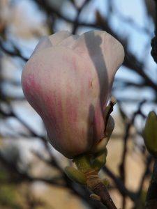Magnolia 'Crimson Stipple'