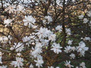 Magnolia x loebneri 'Powder Puff'