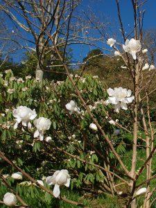 Magnolia x loebneri 'Wildcat'