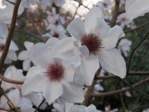Magnolia 'Burncoose White' (or 'Tennis Court')