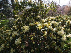 Rhododendron bauhuiniiflorum