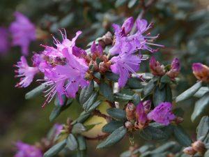 Rhododendron impeditum 'J C Williams'