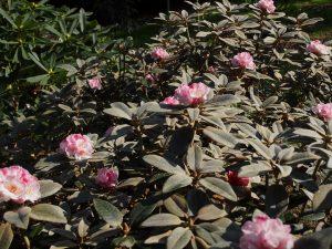 Rhododendron pseudochyrsanthemum