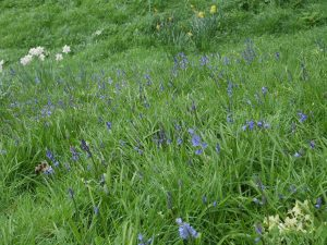 Real bluebells