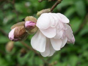 Magnolia 'Alixeed'