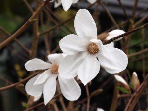 Magnolia x loebneri 'Snow Drift'