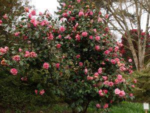 Camellia 'Dream Castle'