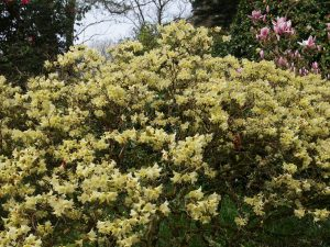 Rhododendron 'Chink'