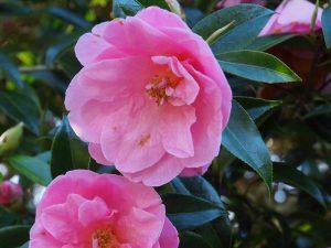Camellia x williamsii 'Ladys Maid'