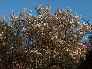 Magnolia soulangeanas