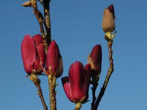 Magnolia 'Tinkerbelle'