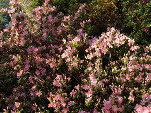 my father's azalea hybrids