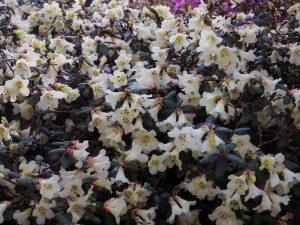 Rhododendron lepidostylum