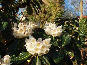 Rhododendron sinogrande