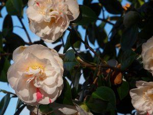 Camellia 'Extravaganza'