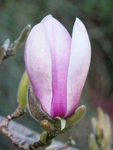 Magnolia 'Lennei' x 'Daybreak'