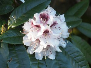 Rhododendron 'Mrs J C Williams'