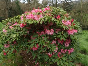 FJW's last rhododendron hybrids