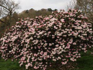 white Rhododendron arboreum