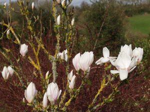 Magnolia soulangeana 'Dr Callies'