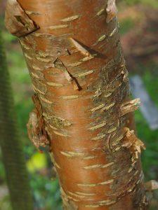 Prunus machii 'Amber Beauty'