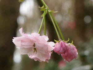 Prunus matsumae-hanagasa ('Pink Parasol')