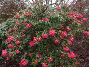 Rhododendron moorii x Rhododendron euchates