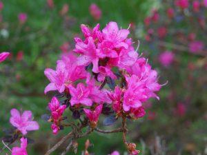 Azaleodendron 'Hardijzer Beauty'