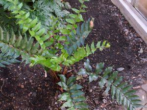 Cyrtomium falcatum 'Rockfordianum'