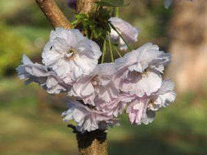 Prunus 'Matsumae Akathu Kinokana'