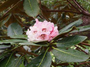 Rhododendron arizelum