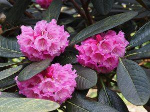 Rhododendron arizelum var rubiscosum