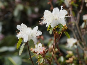 Rhododendron flavidum