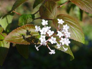 Viburnum bitchiuense
